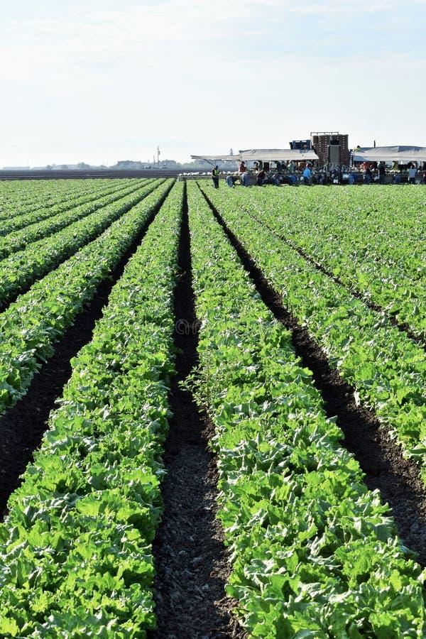 Сбор урожая салата стоковые изображения