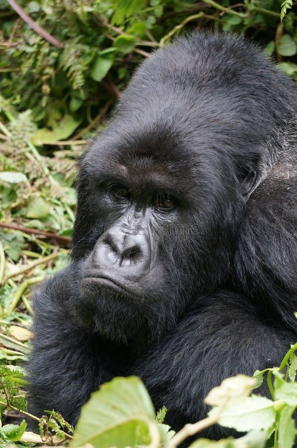 Сварливая горилла silverback стоковое изображение