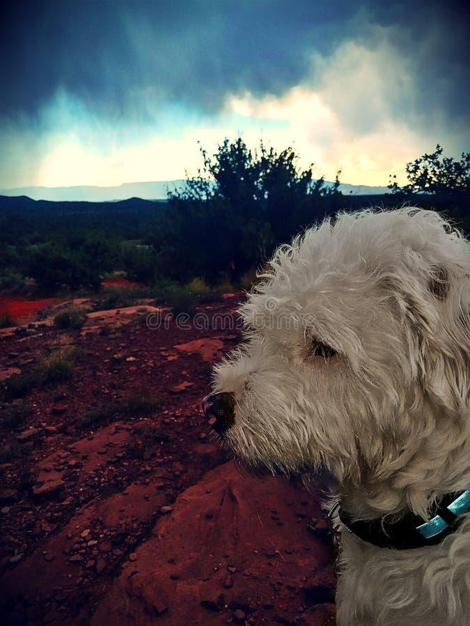 Сварливая собака стоковые фотографии rf
