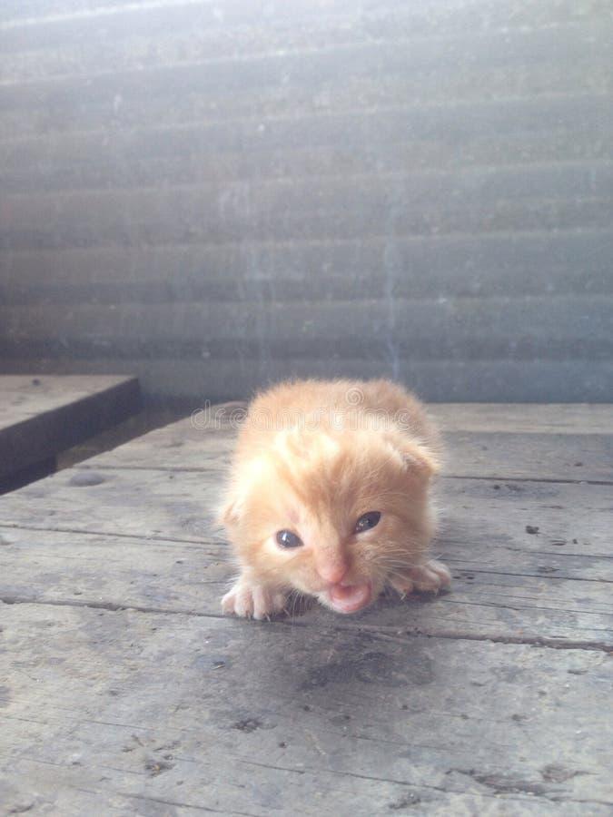 Сварливый оранжевый котенок стоковое фото rf