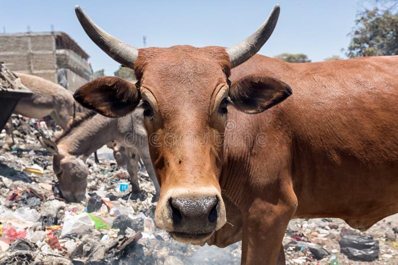 Свалка мусора коровы стоковая фотография rf