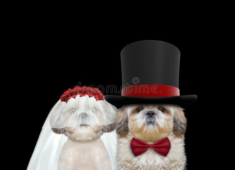 Свадьба милой собаки счастливая на черноте стоковое фото rf