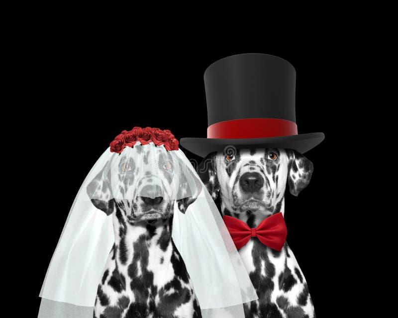 Свадьба собаки счастливая Изолировано на черноте стоковые фото