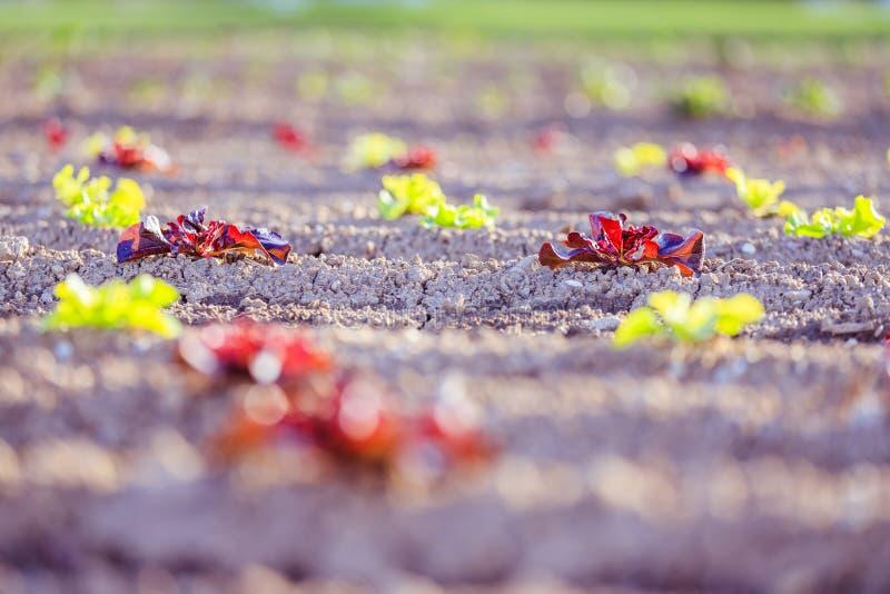 Свежая голова салата на аграрном поле, времени весны стоковая фотография rf