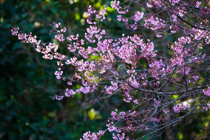 Свежая зацветая вишня в ветвях деревьев, розовое цветене Сакуры цветков полностью r Яркий восход солнца со светом оправы стоковые изображения