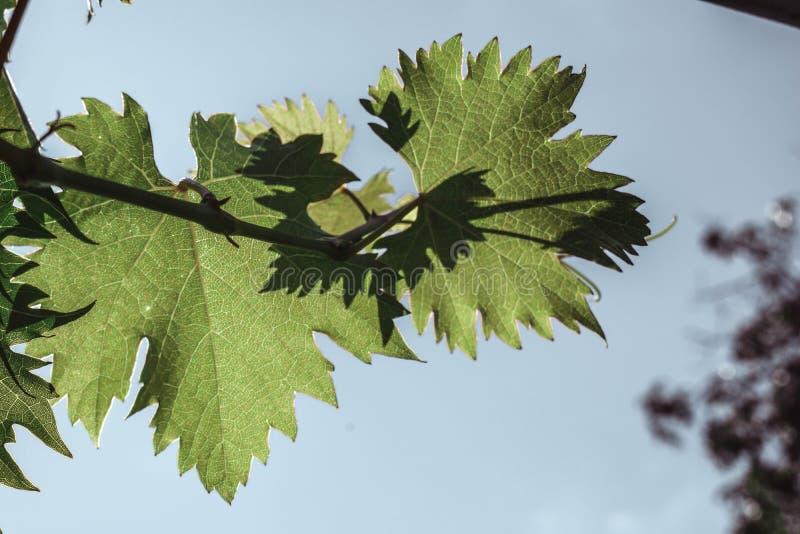Свежая зеленая лоза виноградин листьев на предпосылке голубого неба стоковое изображение rf