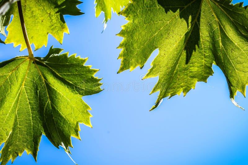 Свежая зеленая лоза виноградин листьев на предпосылке голубого неба стоковая фотография