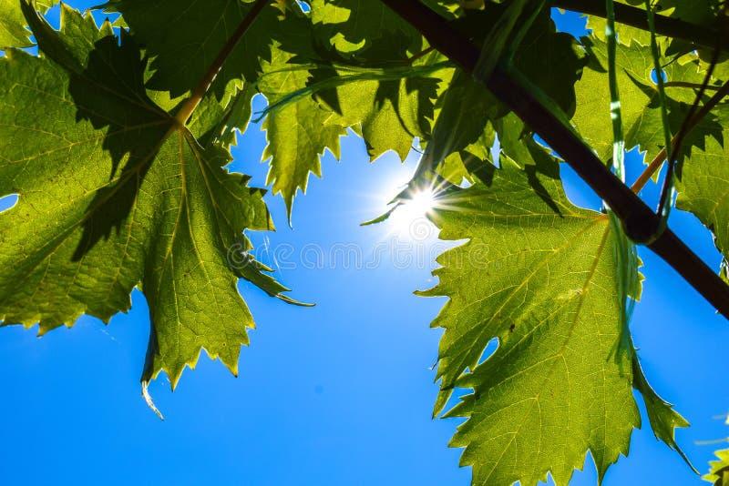 Свежая зеленая лоза виноградин листьев на предпосылке голубого неба стоковые фотографии rf