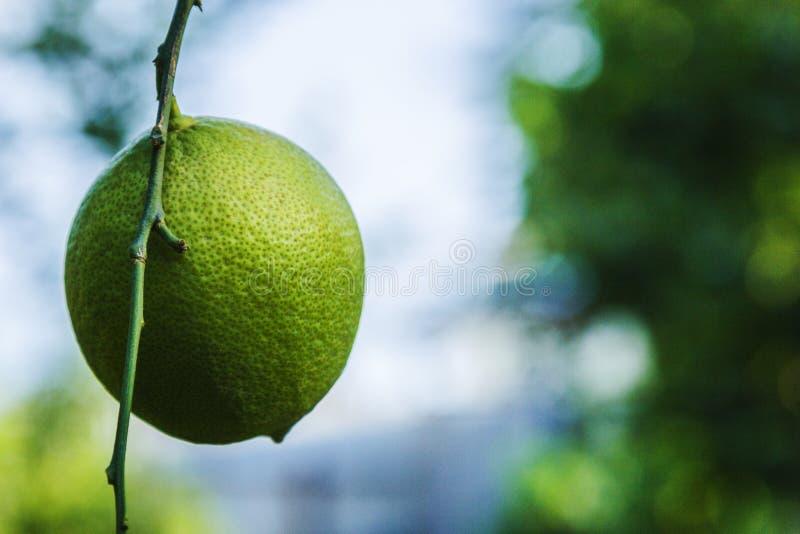 Свежая зеленая смертная казнь через повешение лимона на ветвях с листьями на дереве сад органический стоковые изображения rf