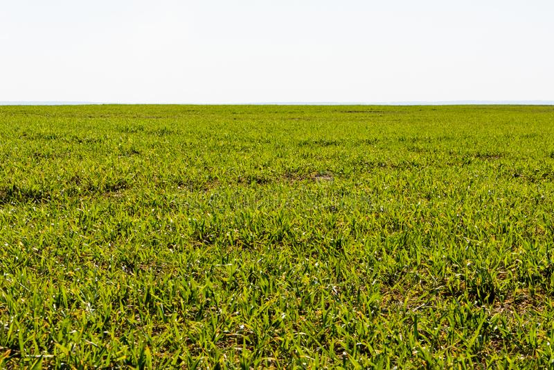 Свежая зеленая трава на дне весны солнечном Весна Просторное зеленое поле Предпосылка, текстура зеленой травы стоковая фотография rf