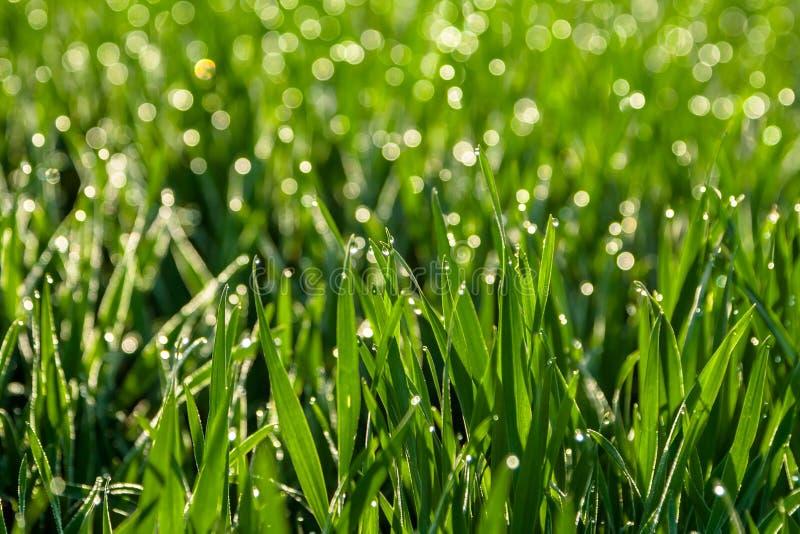 Свежая зеленая трава с падениями росы закрывает вверх против предпосылки голубые облака field wispy неба природы зеленого цвета т стоковое изображение