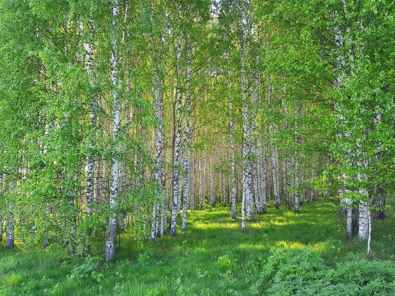 Свежая зеленой роща травы и березы Сцена леса весны стоковое фото rf