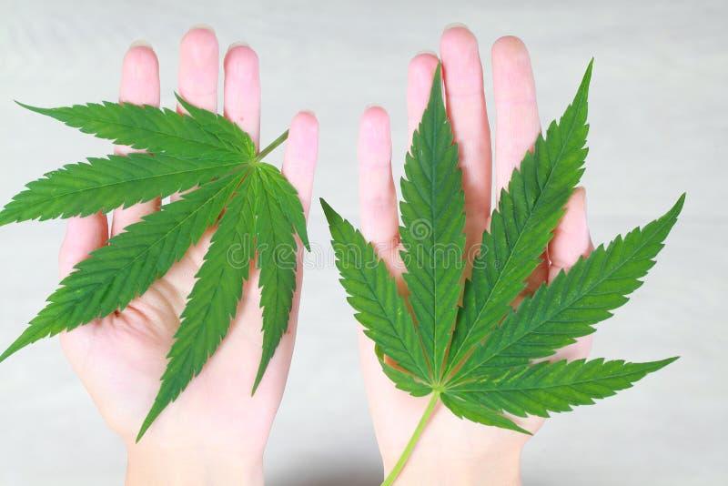 Свежая зеленая конопля покидает женская рука стоковая фотография