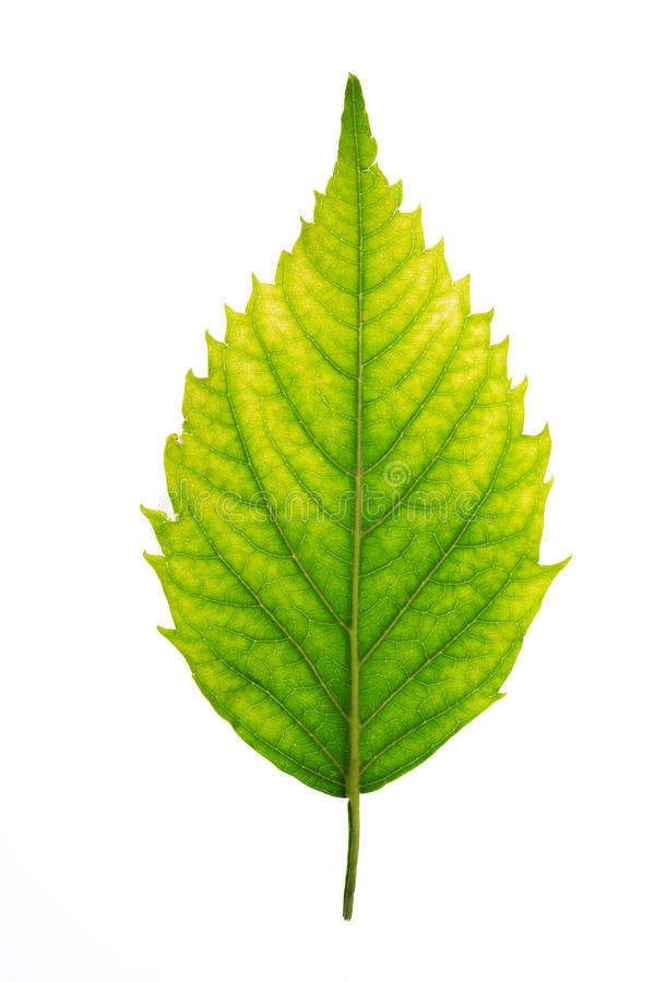 Свежая зеленая текстура лист, изолированная над белой предпосылкой стоковое изображение