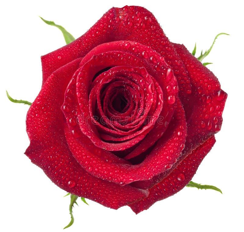Свежая изолированная красная роза стоковое изображение rf