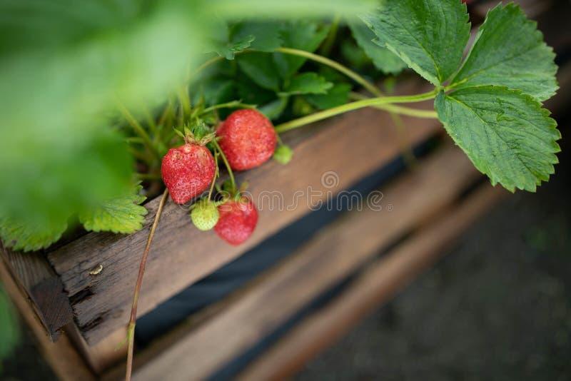 Свежая клубника в саду стоковое изображение