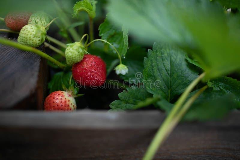 Свежая клубника в саду стоковая фотография rf