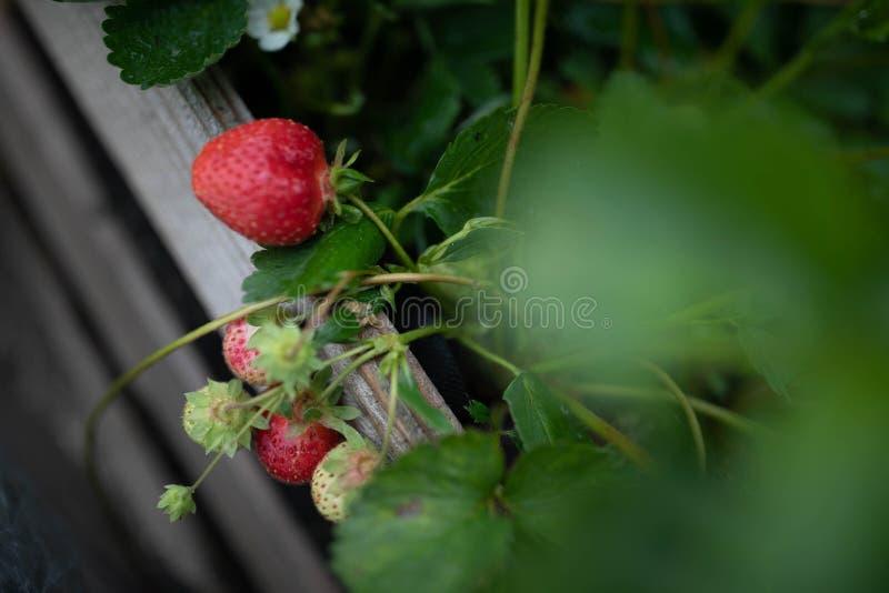Свежая клубника в саду стоковая фотография
