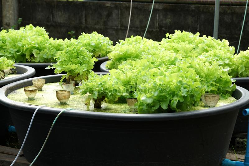 Свежая органическая зеленая культура дуба в aquaponic или hydroponic farmi стоковые фото