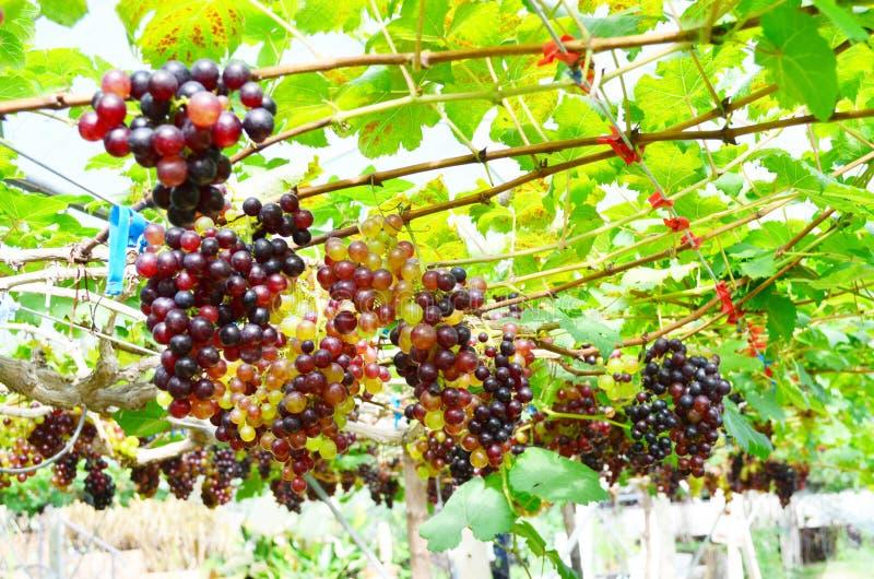 Свежая органическая плантация виноградины в винограднике, земледелии и еде стоковая фотография