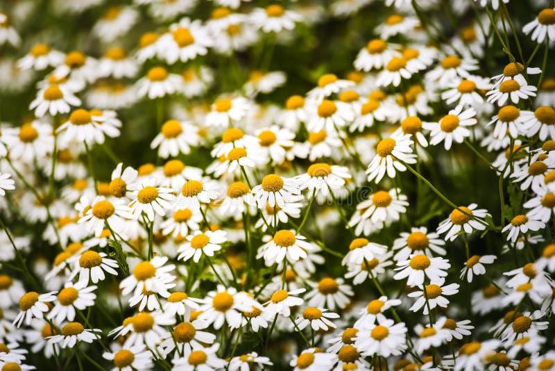 Свежая предпосылка цветков стоцвета маргариток на зеленом луге Картина природы стоковое изображение