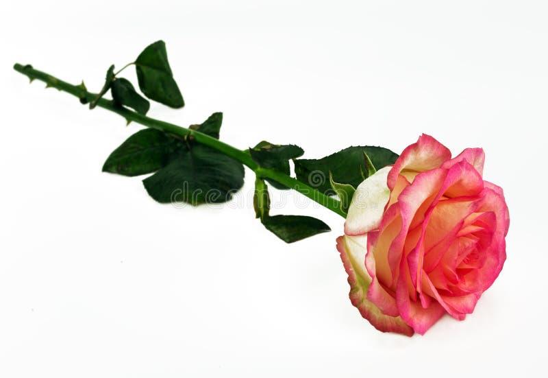 Свежая роза пинка delacate лежит на белой предпосылке declaratio стоковое фото