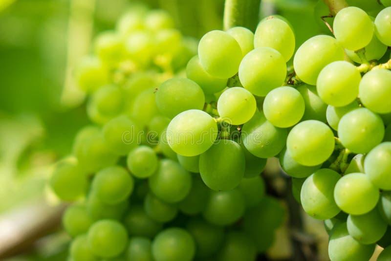 Свежая связка винограда в солнечном свете стоковые изображения rf