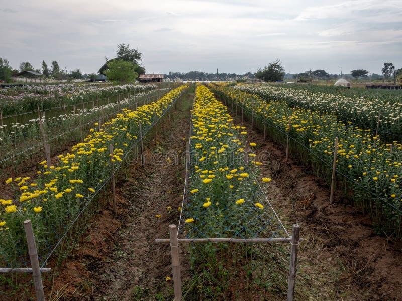 Свежая строка хризантемы для готового к havest стоковые фотографии rf
