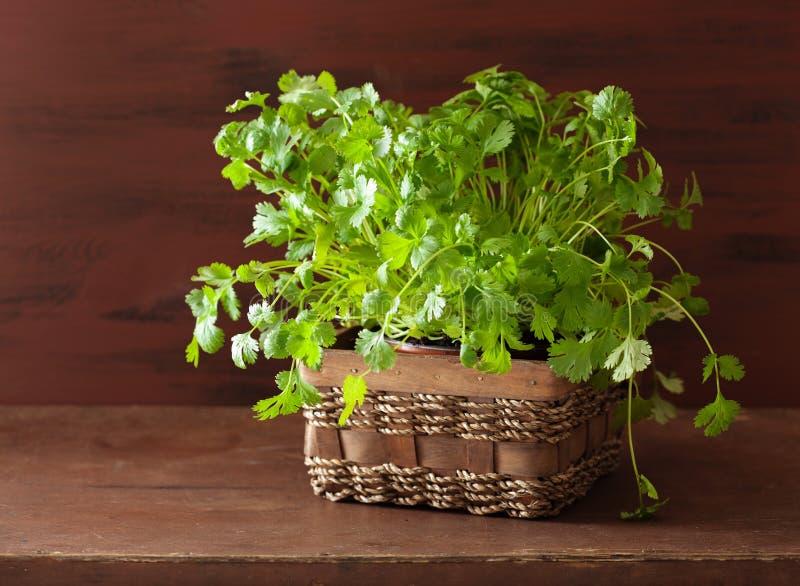 Свежая трава cilantro в баке стоковые фотографии rf