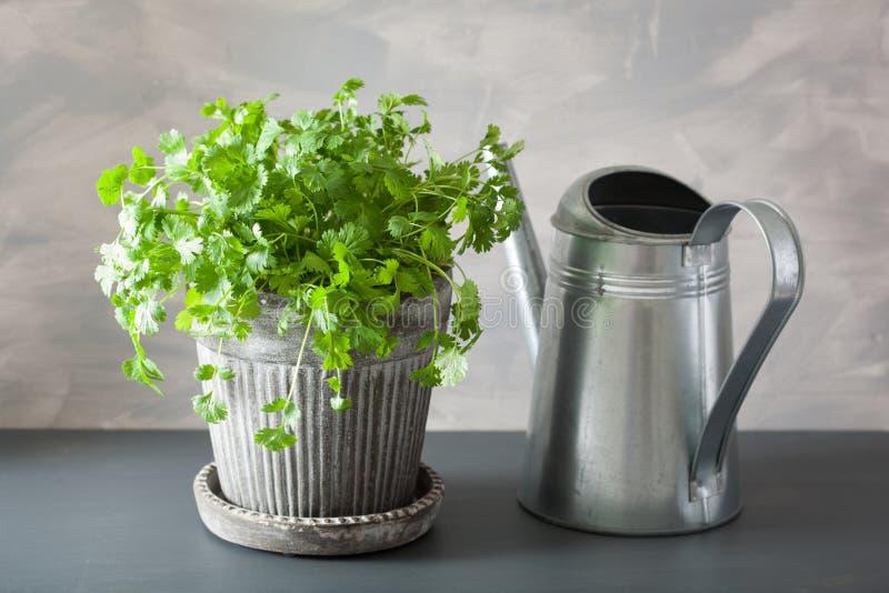 Свежая трава cilantro в цветочном горшке стоковое изображение