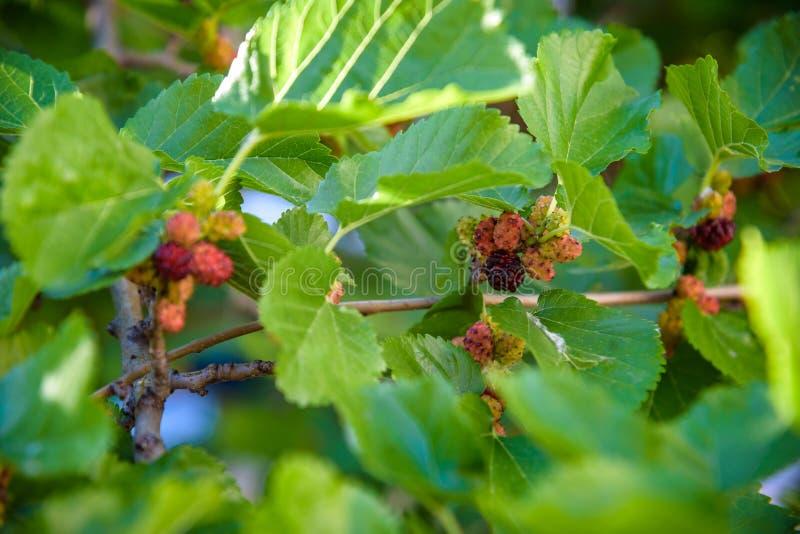 Свежая шелковица, черные зрелые и красные незрелые шелковицы на ветви дерева Здоровый плод ягоды стоковая фотография rf