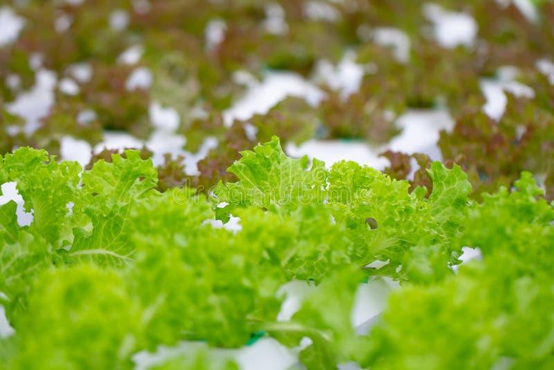 Свежая hydroponic строка овоща в ферме Салат овоща аграрных заводов органический в саде стоковое изображение rf