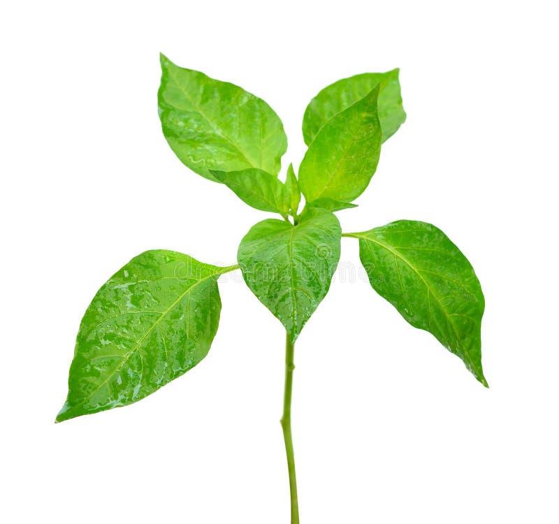 Свежее зеленое дерево chili стоковая фотография rf