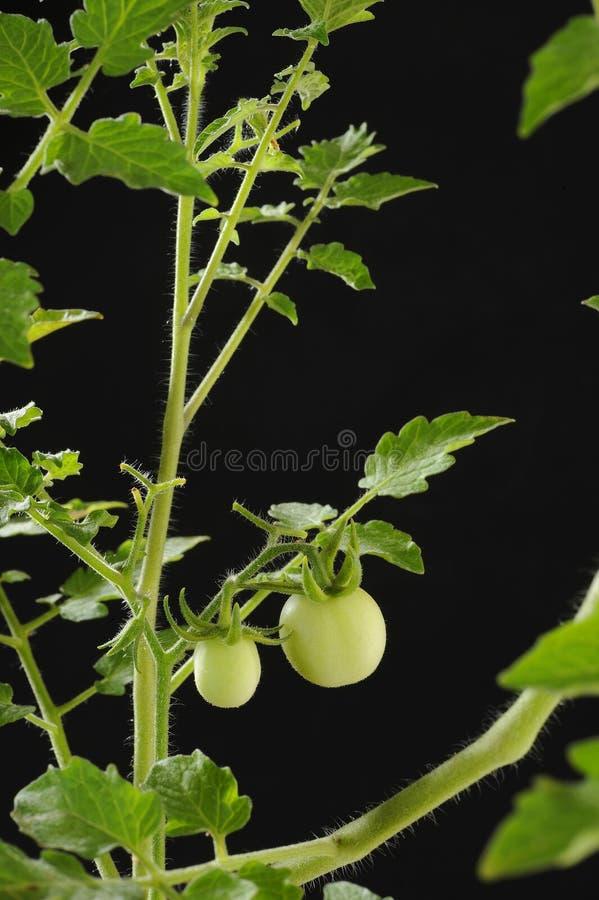 Свежее зеленое дерево томата стоковая фотография