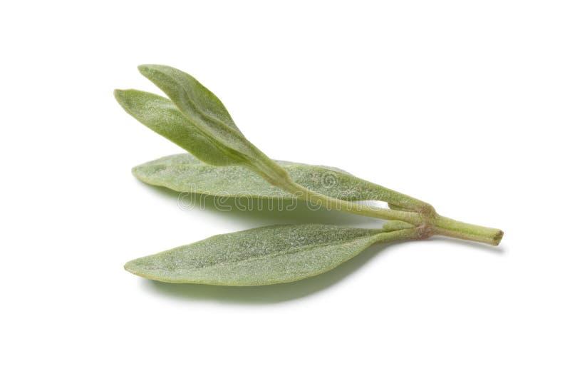 свежее saltbush листьев стоковое изображение
