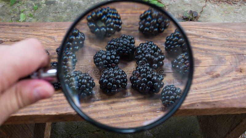 Свеже выбранные ежевики наблюдаемые лупой Концепция здоровья или оценка этого урожая ` s года стоковая фотография rf