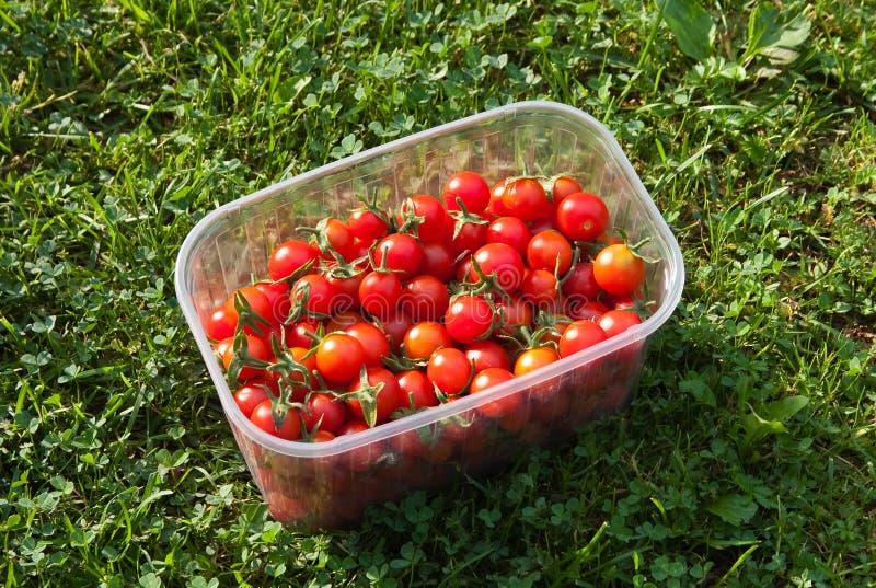 свеже выбранные красные томаты стоковая фотография