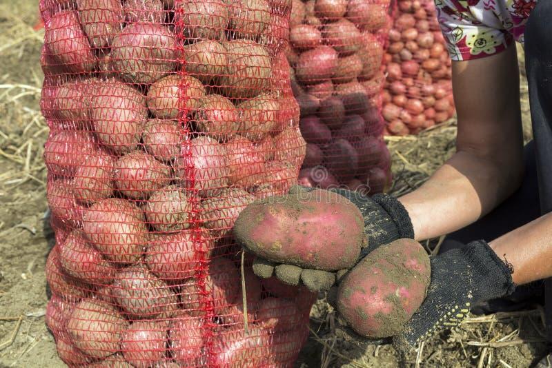 Свеже выкопанные картошки в руках стоковые изображения