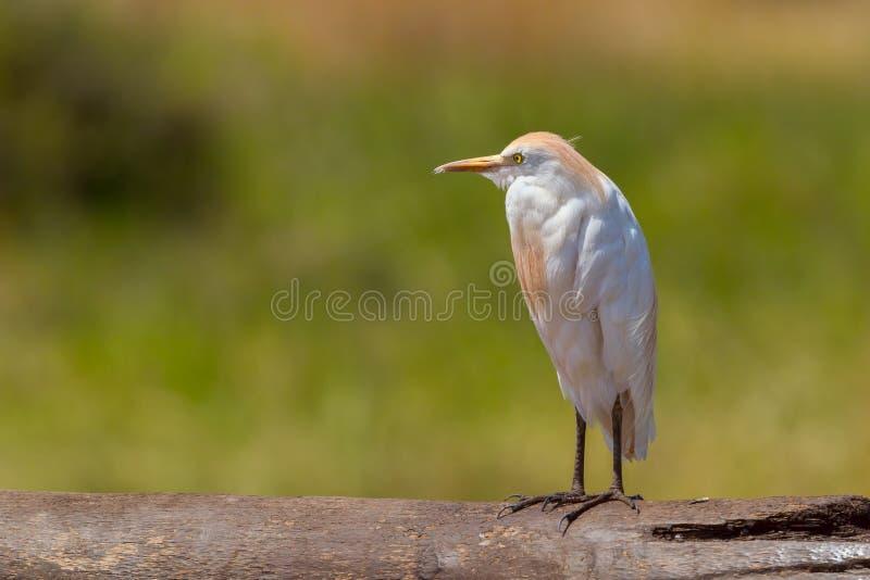 Свеже прихорашиваннсяый Egret скотин, стоковые фото