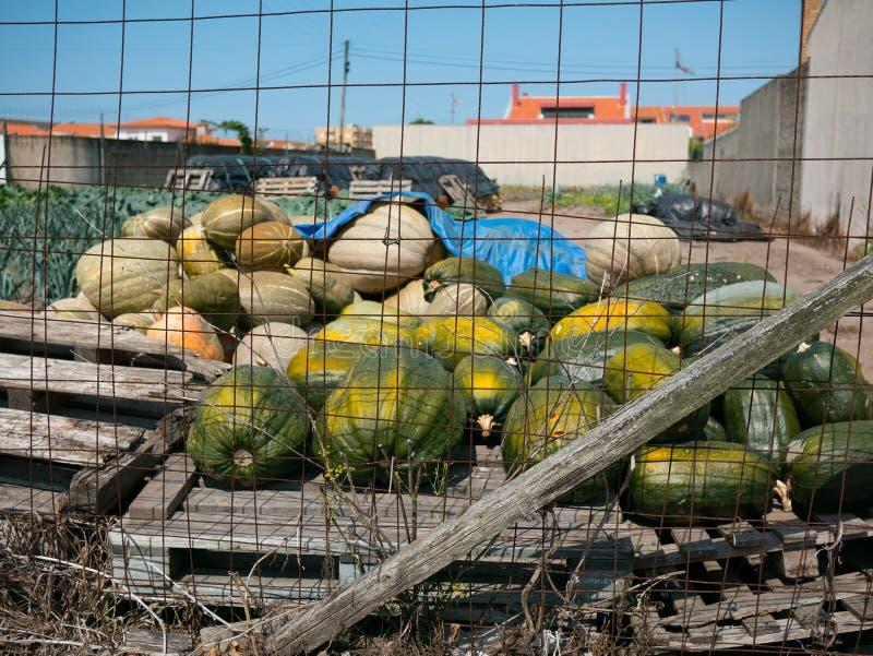 Свеже сжатые тыквы на паллете за проволочной изгородью в Португалии стоковая фотография rf