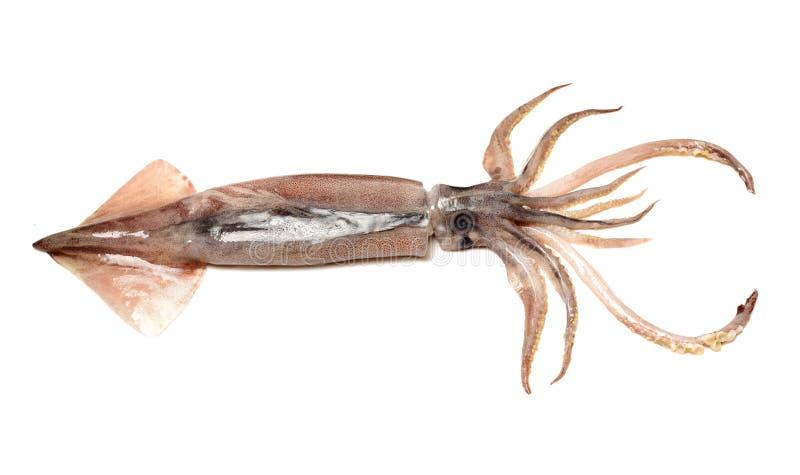 Свеже уловленный кальмар который shinny стоковая фотография