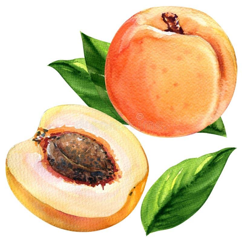 Свежие абрикосы при листья изолированные на белой предпосылке бесплатная иллюстрация