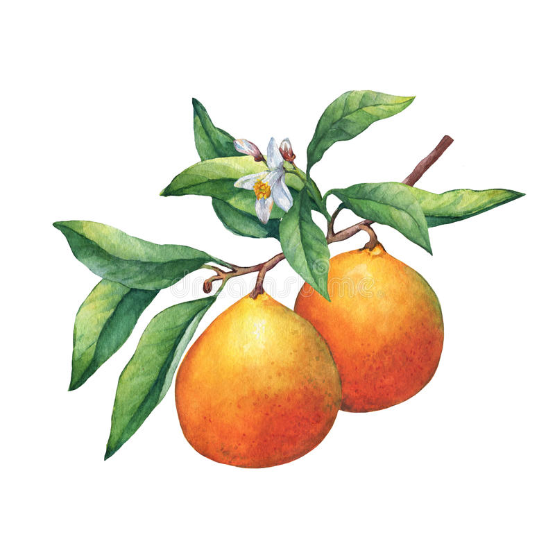 Свежие апельсины цитрусовых фруктов на ветви с плодоовощами, зелеными листьями, бутонами и цветками иллюстрация штока
