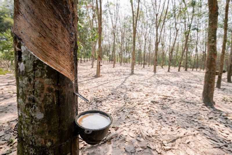 Свежие белые резиновые подачи латекса от резинового дерева В чашку в резиновой плантации стоковая фотография