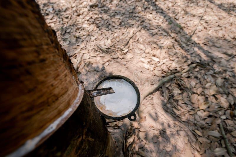 Свежие белые резиновые подачи латекса от резинового дерева В чашку в резиновой плантации стоковое фото