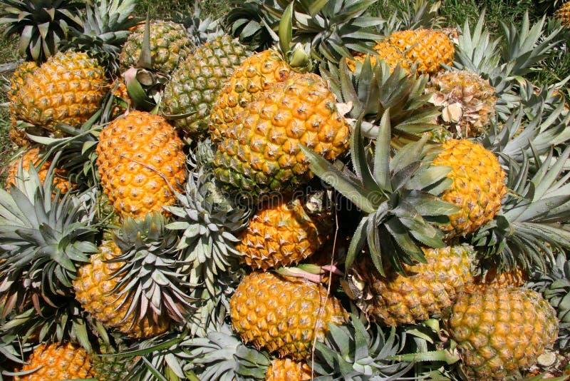 свежие выбранные ананасы стоковые изображения