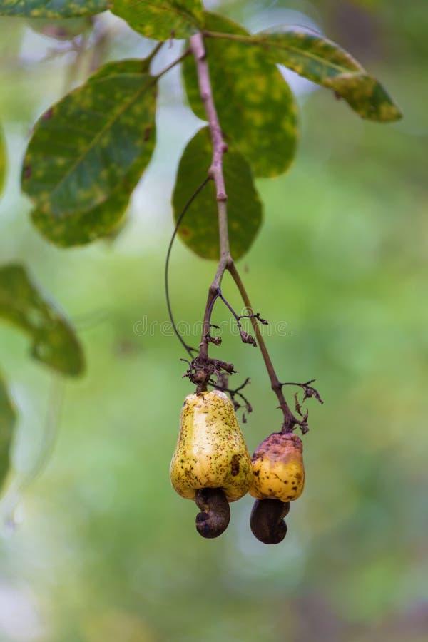 Свежие гайки анакардии на дереве стоковые изображения