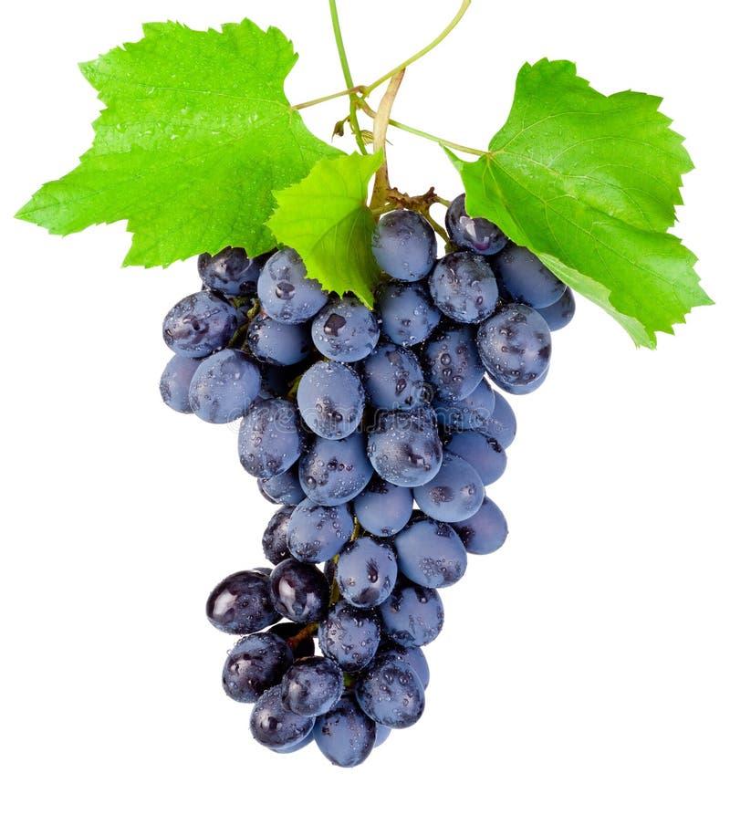 Свежие голубые виноградины при смертная казнь через повешение лист изолированная на белом backgrou стоковое изображение