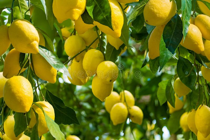 Свежие желтые зрелые лимоны с зелеными листьями на ветвях дерева лимона в солнечной погоде стоковое изображение rf