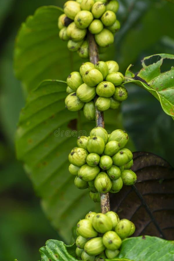 Свежие зеленые кофейные зерна на ветви дерева кофе стоковые фотографии rf